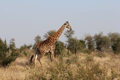 Взрослый жираф Стоковое Изображение RF
