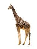 Взрослый жираф Стоковые Фотографии RF