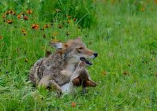 Взрослый койот играя с щенком волка Стоковое Изображение RF