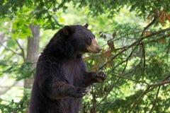 Взрослый медведь Стоковое фото RF