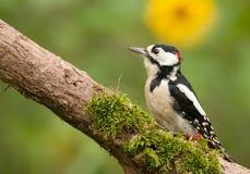 Взрослый мужчина большого запятнанного woodpecker Стоковая Фотография RF