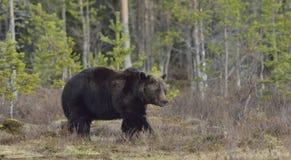 Взрослый мужчина бурого медведя (arctos Ursus) на болоте Стоковые Фото
