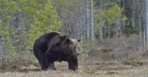 Взрослый мужчина бурого медведя (arctos Ursus) на болоте Стоковые Фотографии RF