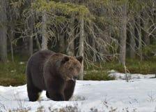 Взрослый мужчина бурого медведя (arctos Ursus) на снеге Стоковая Фотография RF