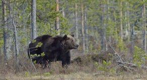 Взрослый мужчина бурого медведя (arctos Ursus) Стоковая Фотография