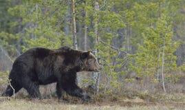 Взрослый мужчина бурого медведя (arctos Ursus) Стоковое фото RF