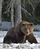 Взрослый мужчина леса бурого медведя (arctos Ursus) весной Стоковые Изображения RF