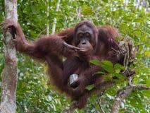 Взрослый орангутан сидит высоко вверх на дереве и наслаждаться конденсировать стоковая фотография rf