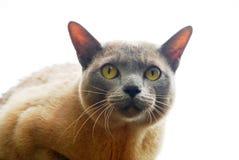 Взрослый одичалый кот Стоковая Фотография