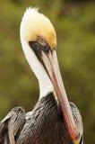 Взрослый пеликан Брайна Стоковое Фото