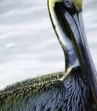 Взрослый пеликан Брайна Стоковые Фотографии RF