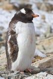 Взрослый пингвина Gentoo который перелиняет и стоит Стоковые Фото