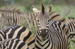 Взрослый портрет зебры Стоковые Фотографии RF
