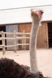 Взрослый страус Стоковое Изображение