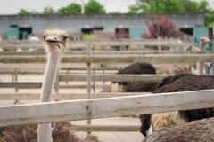 Взрослый страус Стоковое Фото