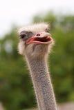 Взрослый страус Стоковые Фото