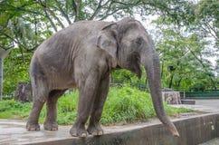 Взрослый слон Стоковое Изображение RF