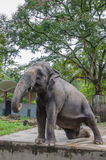 Взрослый слон Стоковые Изображения