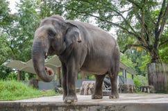 Взрослый слон Стоковые Изображения RF