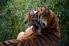 Взрослый тигр лежа на огромном камне и лижа его тело его длинным языком Стоковые Фотографии RF