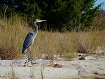 Взрослый цапли большой сини стоя на журнале на пляже Стоковые Изображения