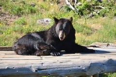 Взрослый черный медведь Стоковые Фотографии RF