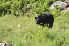 Взрослый черный медведь Стоковое Изображение RF