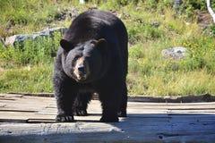 Взрослый черный медведь Стоковое Изображение