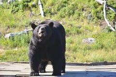 Взрослый черный медведь Стоковое фото RF
