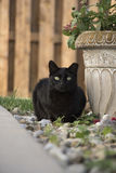 Взрослый черный отечественный кот коротких волос дикий рассеянный сидя в утесах в горшке заводом в задворк Стоковая Фотография RF