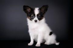 взрослый щенок papillon собаки предпосылки Стоковые Фото