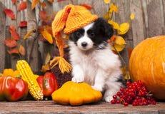 взрослый щенок papillon собаки предпосылки стоковое изображение rf