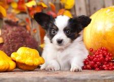 взрослый щенок papillon собаки предпосылки стоковые изображения rf