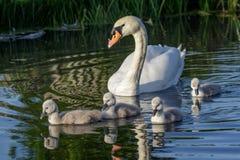 Взрослый olor Cygnus безгласного лебедя и милые пушистые молодые лебеди младенца Стоковое Изображение