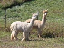 2 взрослых альпаки Стоковое Изображение RF