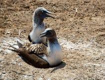 2 взрослых голубых footed младенца защищают их гнездо Стоковые Изображения RF