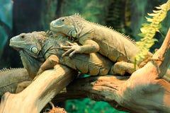 2 взрослых игуаны Стоковые Фото