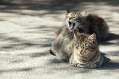 2 взрослых коричневых кота Стоковые Фото