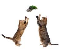 2 взрослых кота улавливая птицу на белизне Стоковое Изображение RF