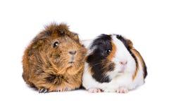 2 взрослых морской свинки Стоковые Изображения
