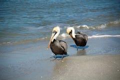 2 взрослых пеликана Брайна в прибое Стоковая Фотография