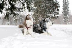 2 взрослых собаки в снеге осипло Время 3 года Стоковое Изображение RF