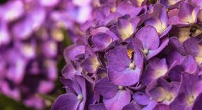 Взрывы пурпура стоковое фото