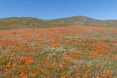 Взрыв Wildflower на запасе мака Калифорнии долины антилопы Стоковые Фотографии RF