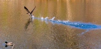 Взлет птицы Стоковое фото RF