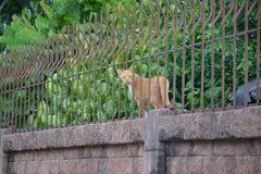 Взломщик кота Стоковая Фотография