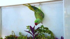 видео- конец 4K вверх зеленого попугая вися на окне Питаться с зеленым цветком Оно в Marrakesh, Марокко r акции видеоматериалы