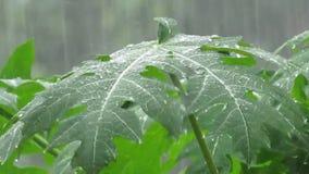 Видео муссона - дождевая вода падая на листья сток-видео