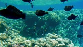 видео 4k красивого seascape кораллового рифа в Красном Море Жизнь океана подводная Изумляя спокойная предпосылка видеоматериал