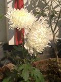 Видимые белые цветки Стоковые Фото